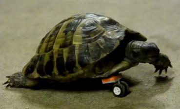 Schildkröte mit Rad-Prothese